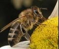Цените на пчелния мед тръгват надолу