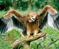 Прострелян царски орел бе открит до свиленградското село Райкова могила в Сакар