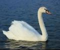 Сигнал за умрял лебед постъпи в РИОСВ-Стара Загора