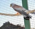 Миниатюрни сателитни предаватели разкриват подробности за живота на редките птици от вида белошипа ветрушка