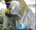 Старозагорският Зоопарк скоро ще има нови обитатели - две конфискувани маймуни