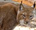 Женски рис е новото попълнение на зоопарка в Стара Загора