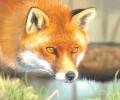 Спасиха лисица, заплетена в мрежа на тенис корт в Стара Загора
