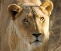 Лъвицата Стела разгледа Зоопарка от външната страна на клетката, прибраха я за час и половина