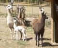 Трето поколение лами отглеждат в старозагорския зоопарк