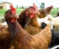 Безстопанствени кучета разпердушиниха кокошките на детска градина в Стара Загора