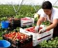 Набират 800 жени между 25 и 40 години за бране на ягоди в Испания