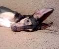 Прокуратурата разследва жестокост към куче, влачено с кола в Бузовград
