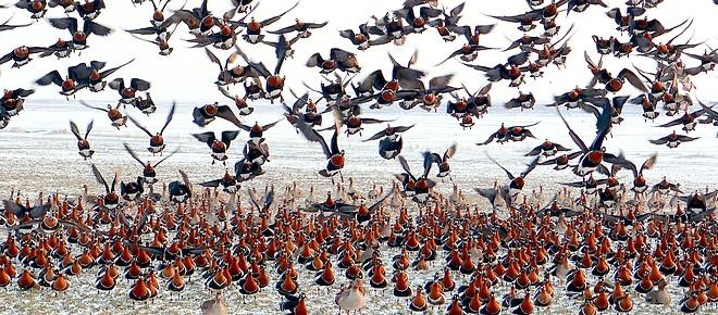 Wintering_geese