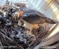 Двойка брадати лешояди снесоха първото си за годината яйце в Спасителния център