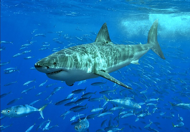 Бяла акула. Снимка: Terry Goss, https://bg.wikipedia.org