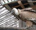 Рисковите електропреносни трасета край Котел убиха поредните ценни белоглави лешояди