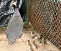 В Старозагорските минерални бани се излюпиха пиленца - токачки