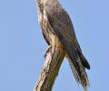 Огромен успех за природозащитата у нас - ловният сокол отново гнезди в България