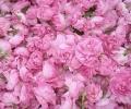 Готов е проектът за закон за българската маслодайна роза