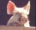 По 70 лв. на животно ще получат собствениците за превантивно заклани домашни свине в 20-километровите зони около индустриалните ферми