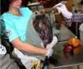 Прострелян скален орел постъпи в Спасителния център на Зелени Балкани