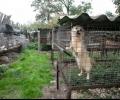 Гладуващи лисици и кучета откри разследване в полска ферма за кожи