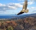 Спасено в Центъра на Зелени Балкани морско орле избра остров Лесбос за свой дом през зимата
