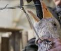 Забрана на гушенето на патици и гъски обсъжда украинският парламент
