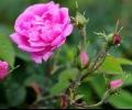 Права за Празник/Фестивал на розата има единствено Община Казанлък