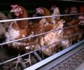 Нова кампания ще освобождава кокошките от клетките -