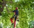 Професионални арбористи изследваха голямо дърво в центъра на Стара Загора