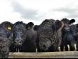 """94 чистокръвни говеда от породата """"Галуей"""" пристигнаха от Германия в Учебно-опитното стопанство на Тракийския университет – Стара Загора"""
