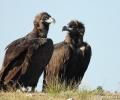 Черният лешояд (карталът) се завръща в България с първи гнезда от 30 години насам