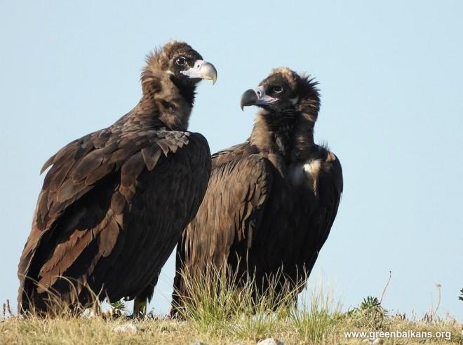 Първата сформирана двойка черни лешояди след реинтродукцията им в България