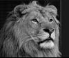 Oбичаният лъв Терез почина: PETA призовава за прекратяване на отглеждането на големи котки в плен
