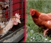 Комисията по земеделие в Европарламента призова за забрана на клетъчното отглеждане в животновъдството