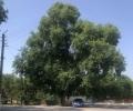 МОСВ обяви вековен бряст в радневското с.Ковачево за защитено дърво